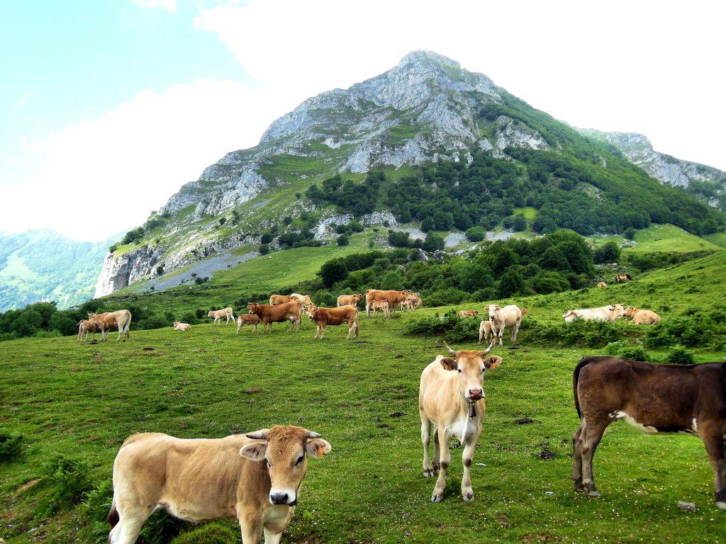 Vacas al pie de Balerdi